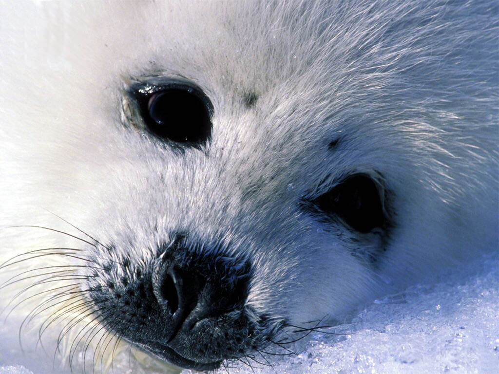 Baby Seal Animals Wallpaper Image With Seals Pictures