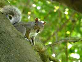grey squirrel looking at camera