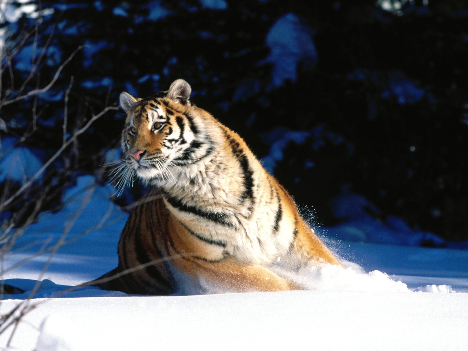 Wintery Scuddle Siberian Tiger