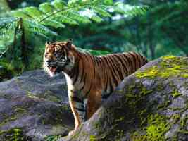 Mighty One Sumatran Tigar