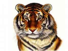 Tiger Art Francien wall