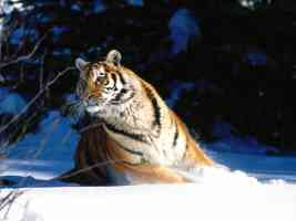 Wintery Scuddle Siberian Tiger