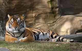 tiger dream world