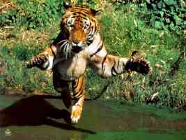 tiger jumping on prey