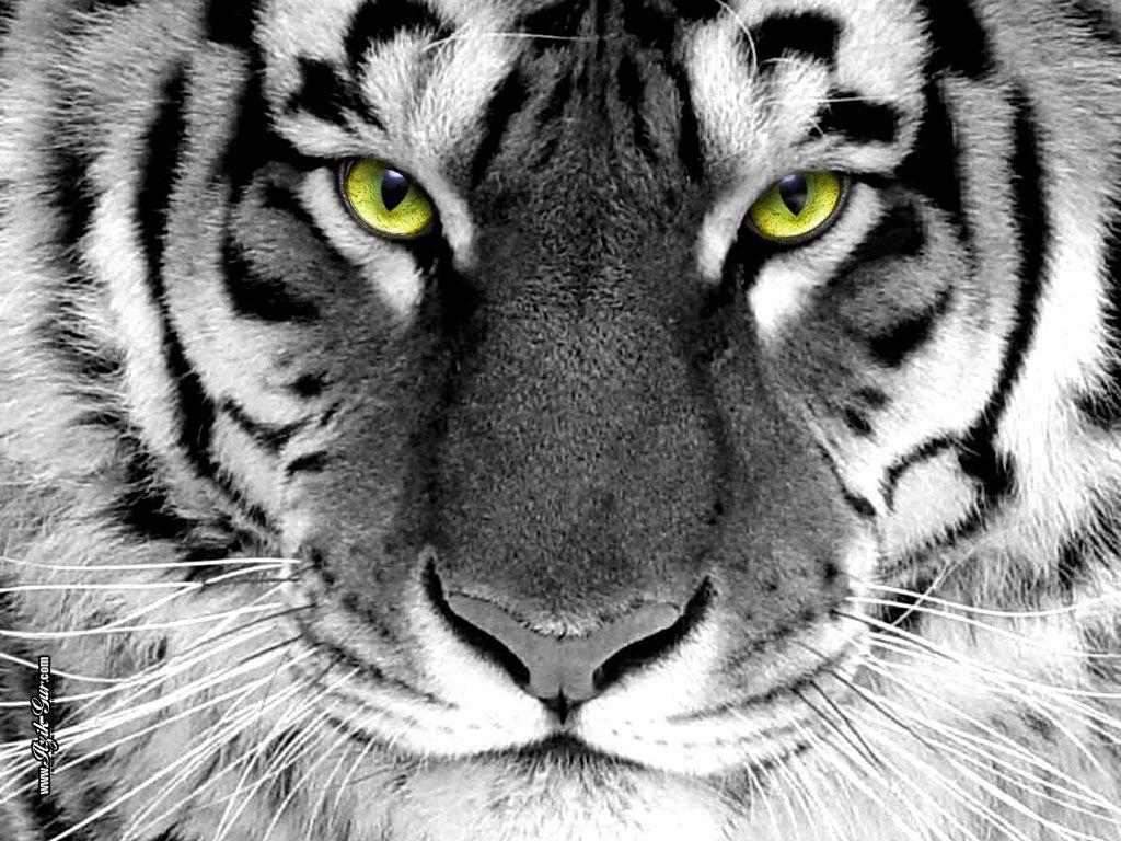 Tigers Tiger Eyes