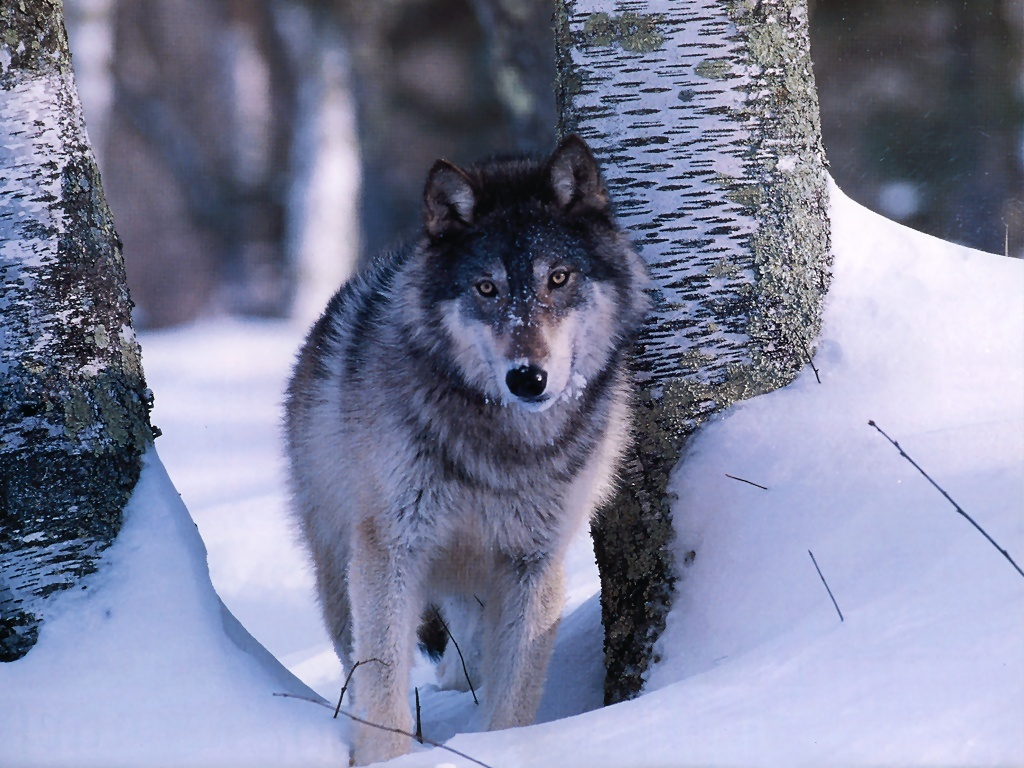 обои волк зимой