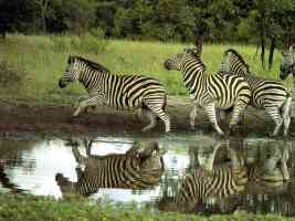 south african zebras by the waterting hole