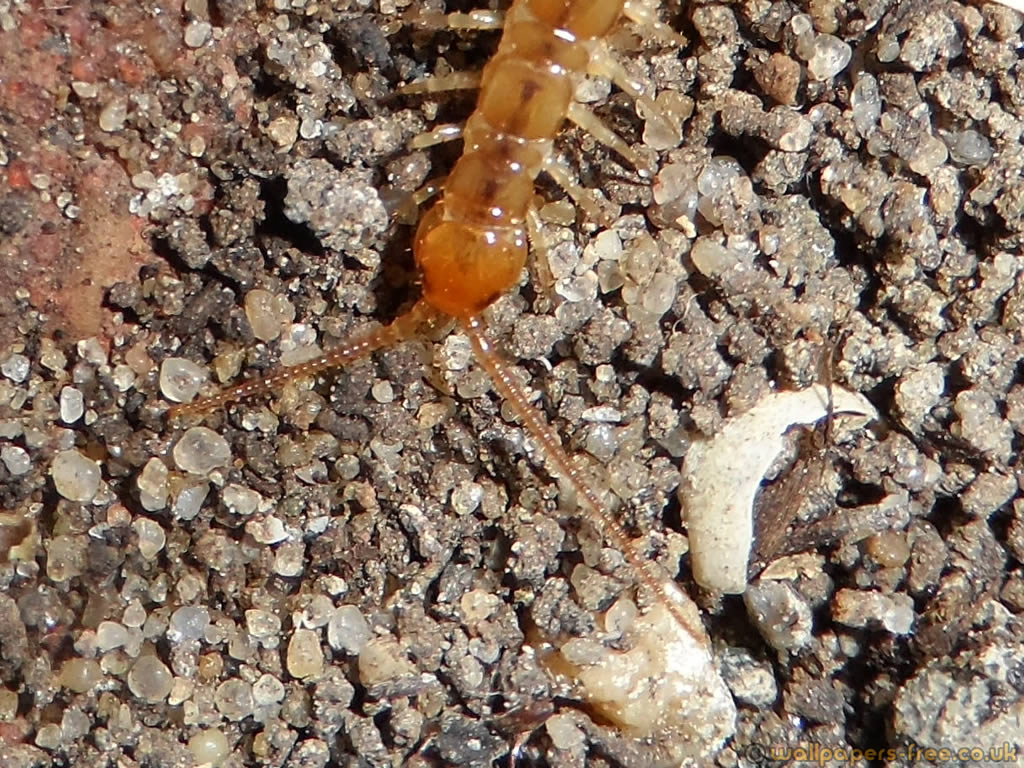 Orange Centipede Head And Antenae