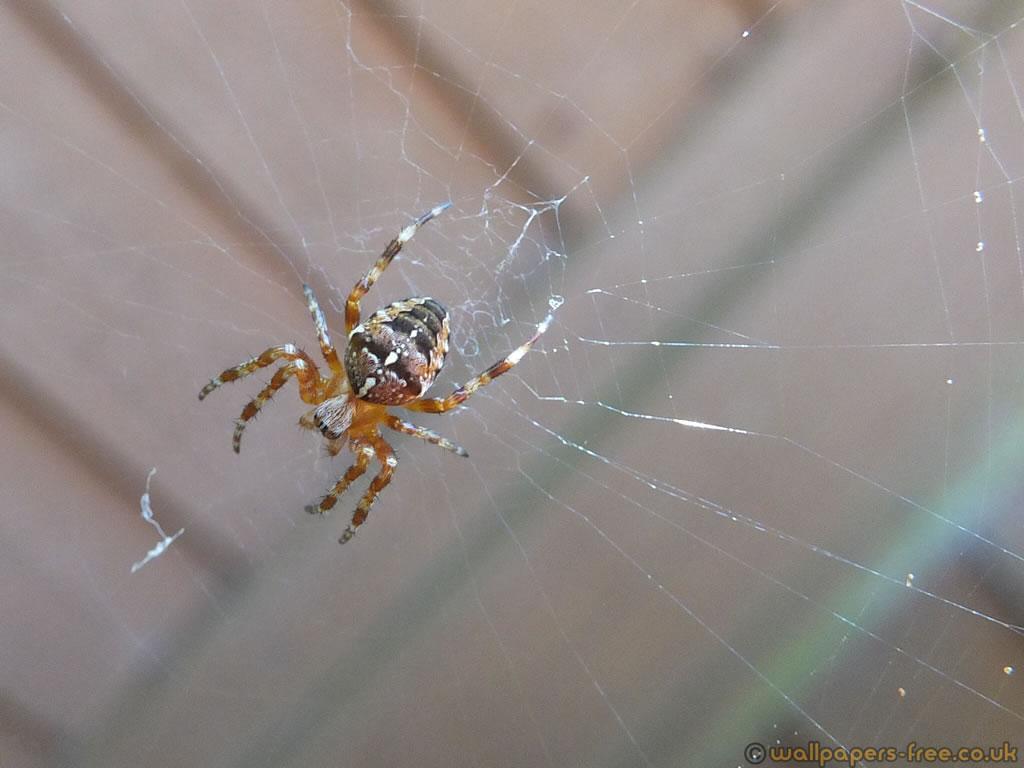 British Garden Spider