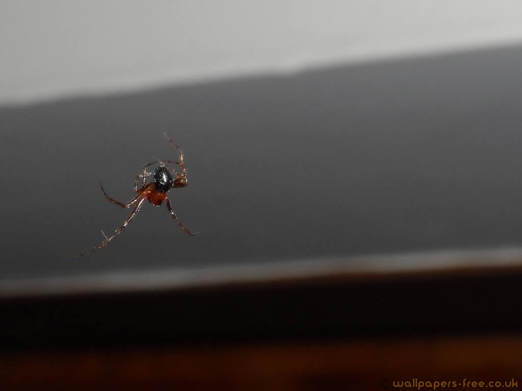 Small Male Cobweb Spider