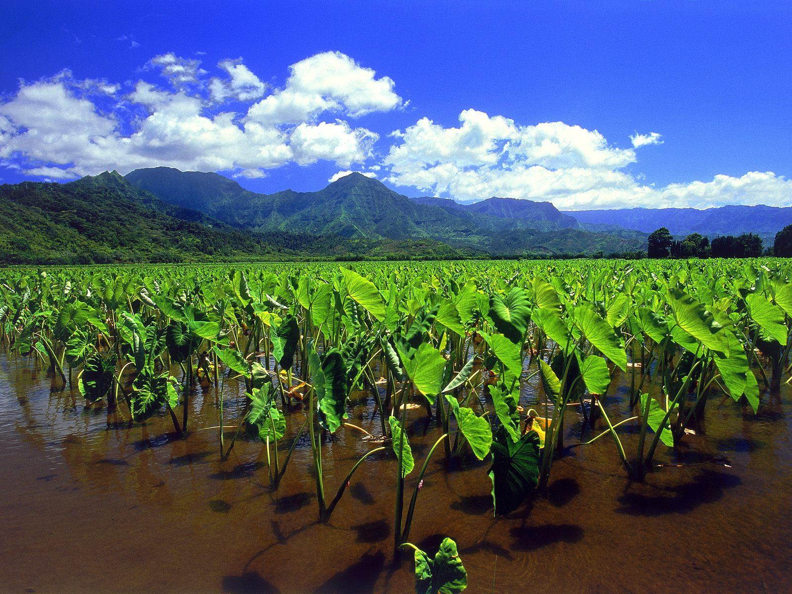 Taro Fields Of Hanalei Kauai