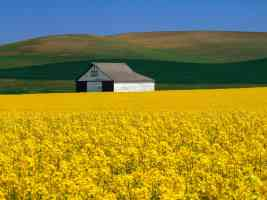 rapeseed in bloom whitman county washington