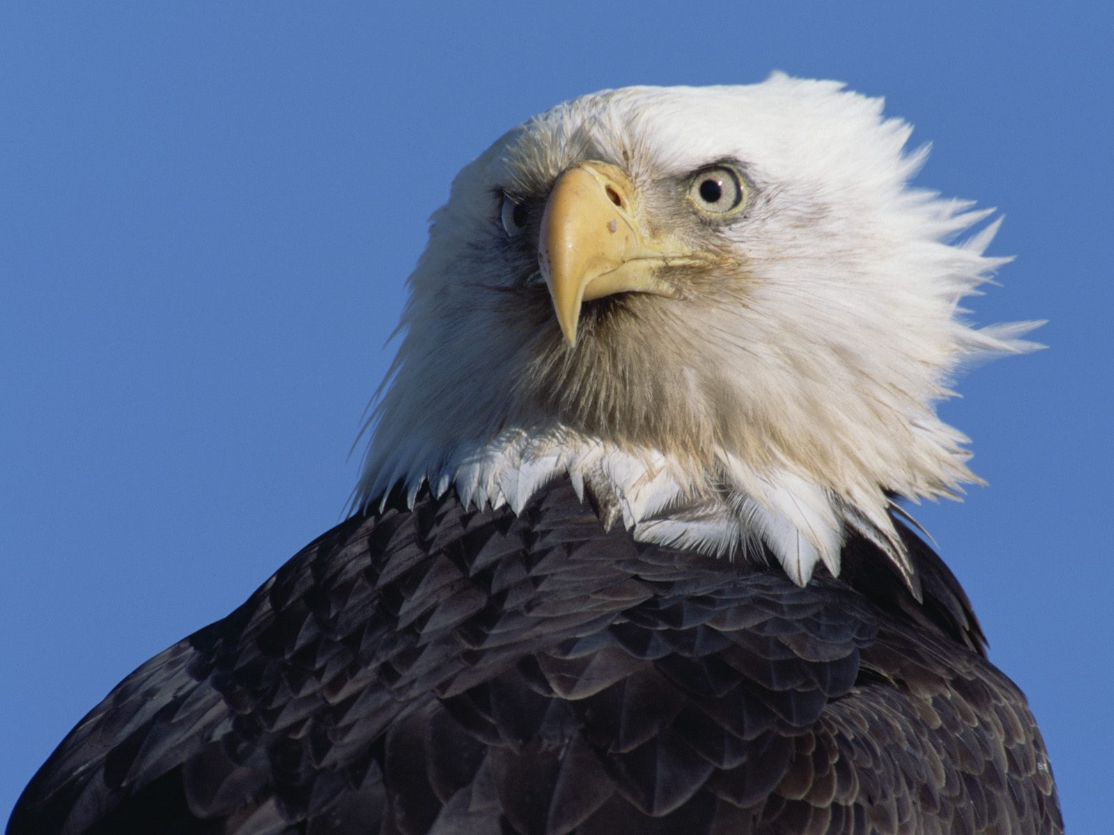 Previous USA Wallpaper Intense Stare Bald Eagle