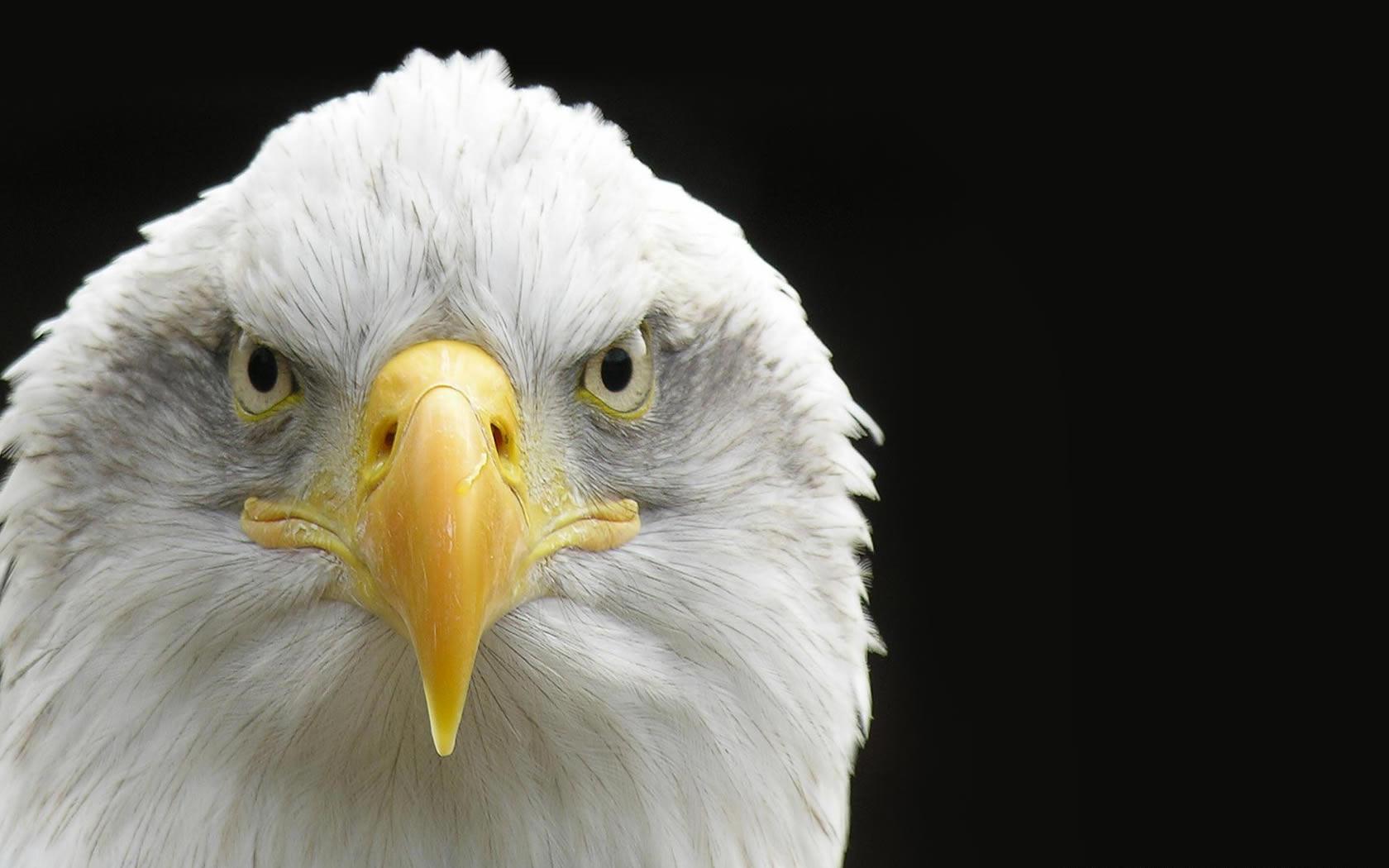 Bald Eagle Eyeing The Camera
