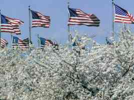american flags and apple blossom