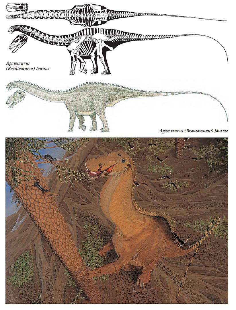 Brontosaurus herbivore dinosaurs wallpaper image