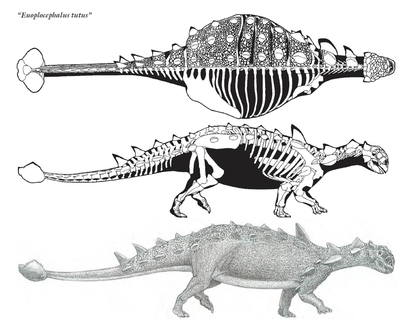 Euoplocephalus With Massive Clubbed Tail