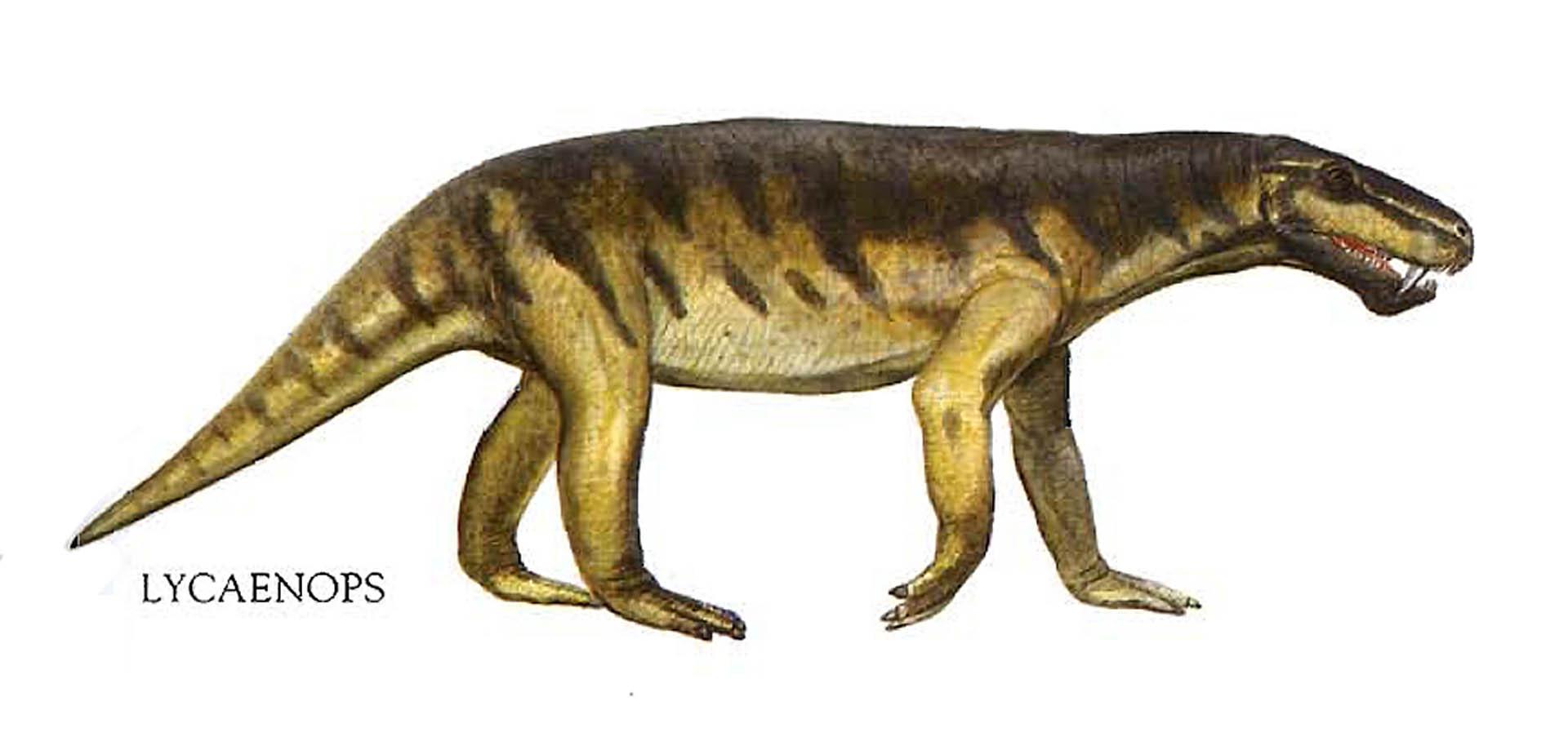 Lycaenops Wolf Lizard
