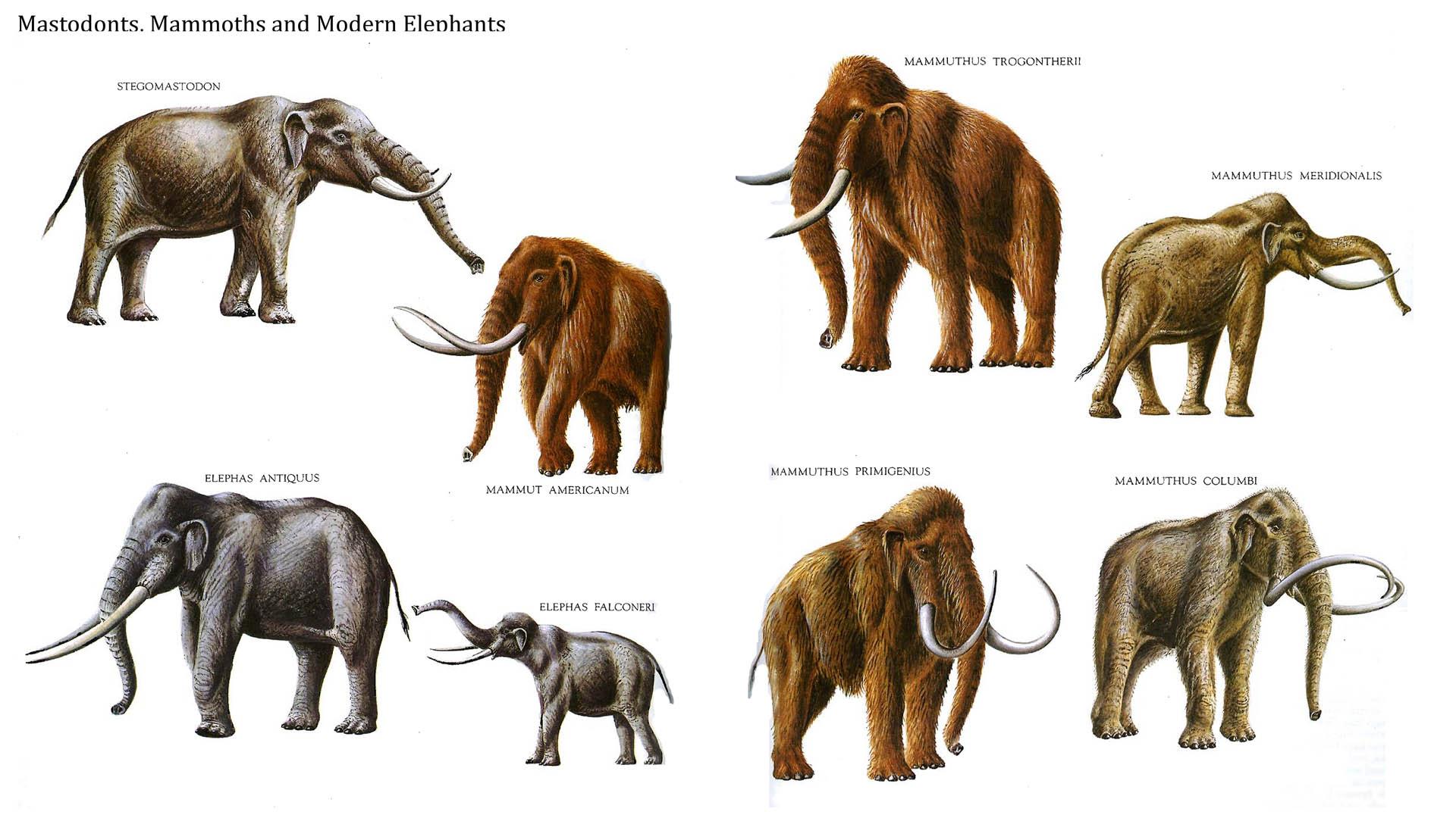 Mastodonts Mammoths And Modern Elephants