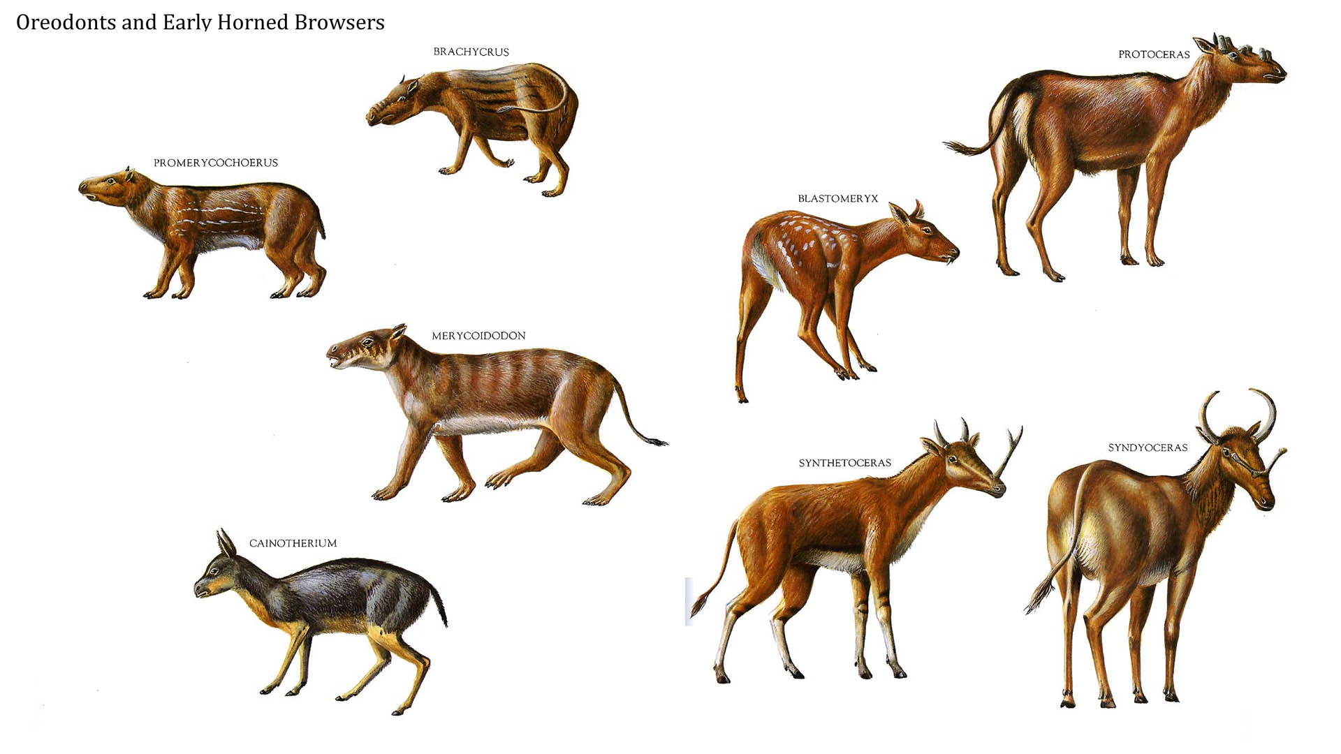 Oreodonts And Early Horned Browsers
