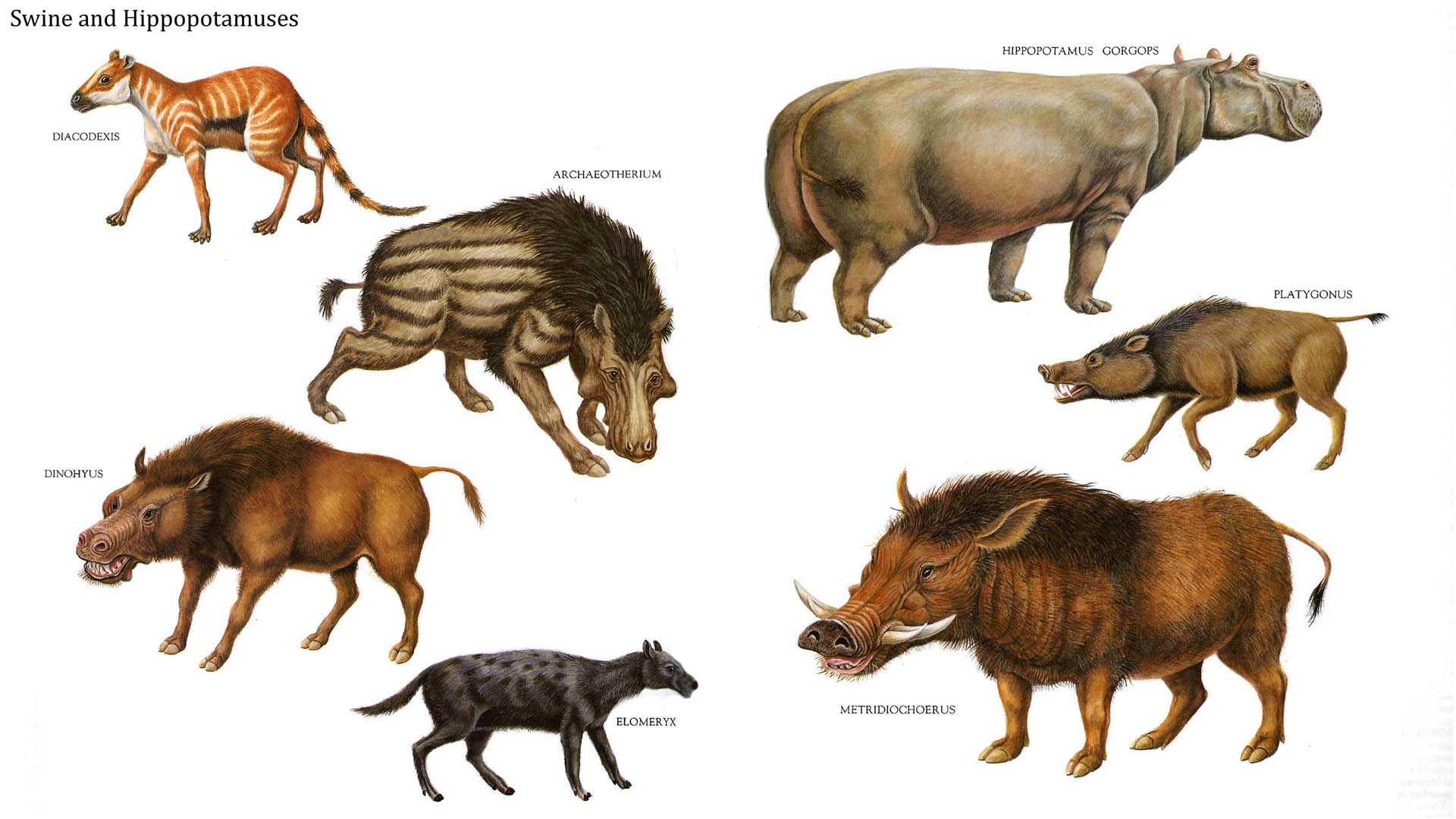 Swine And Hippopotamuses