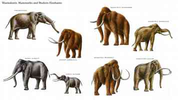 mastodonts mammoths and modern elephants
