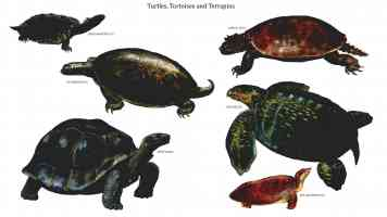 turtles tortoises and terrapins