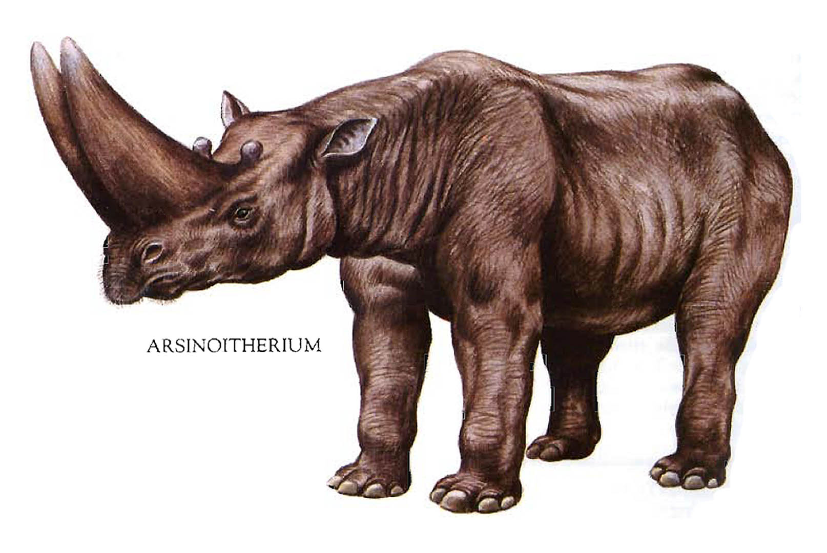 Arsenoitherium Huge Double Horned Rhino