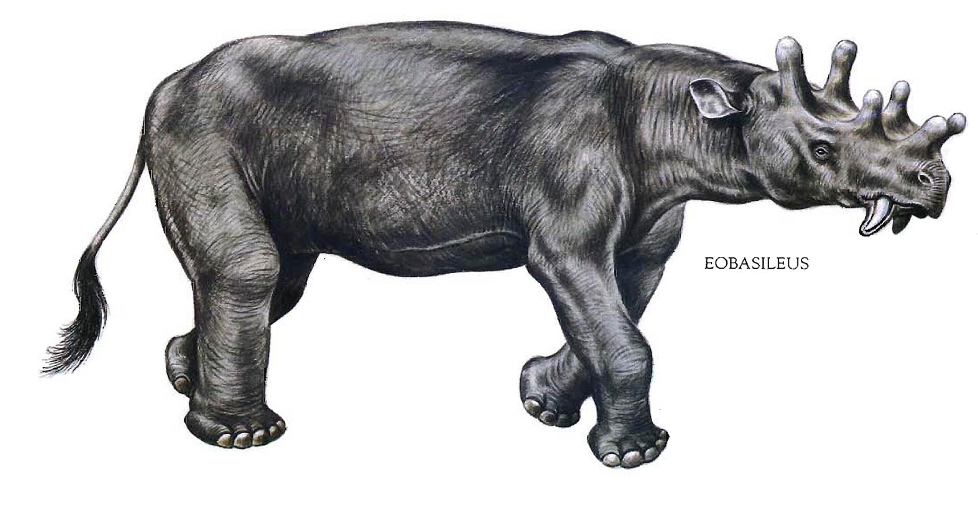 Eobasileus Knob Headed Rhino