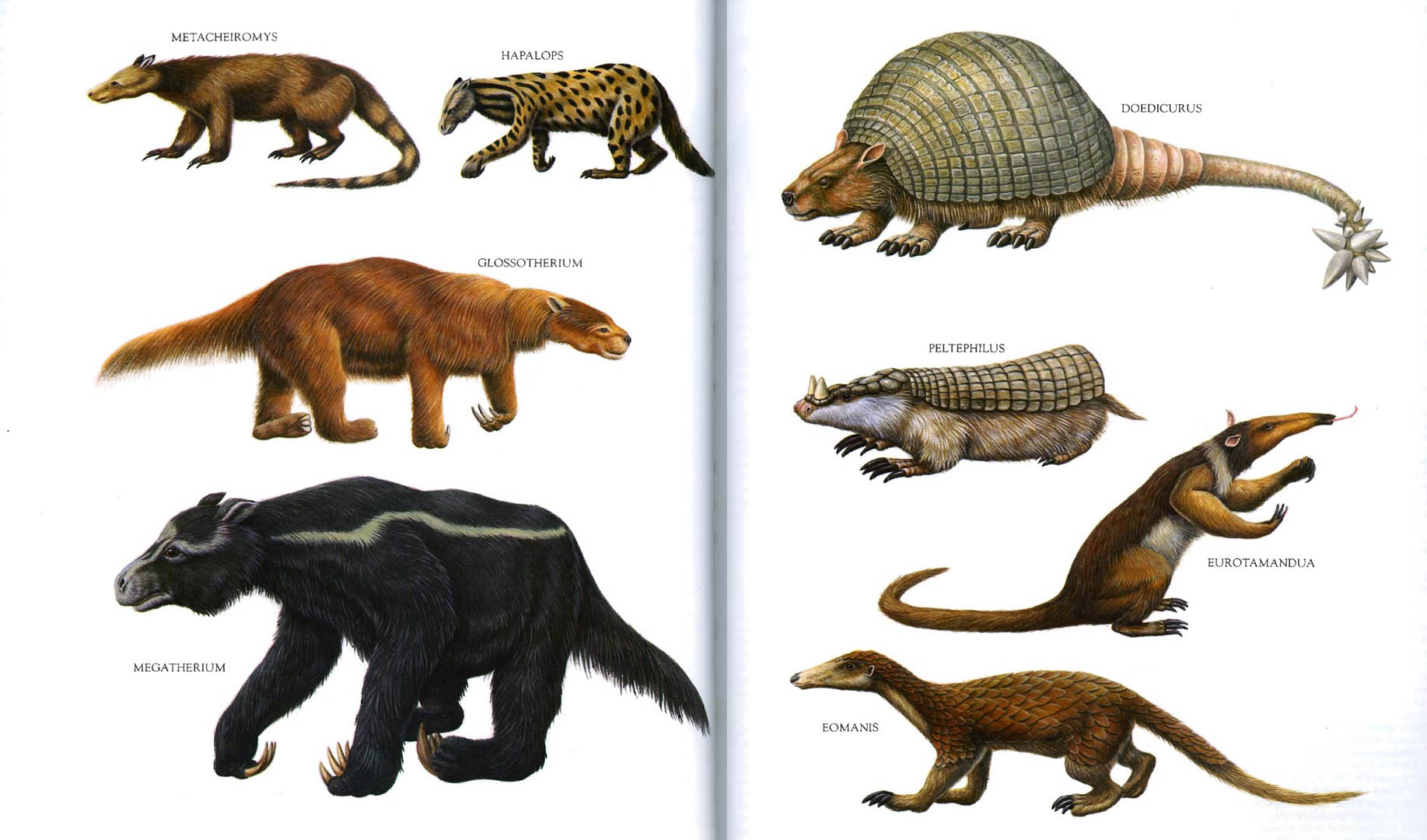 Glyptodonts Sloths Armadillos And Anteaters