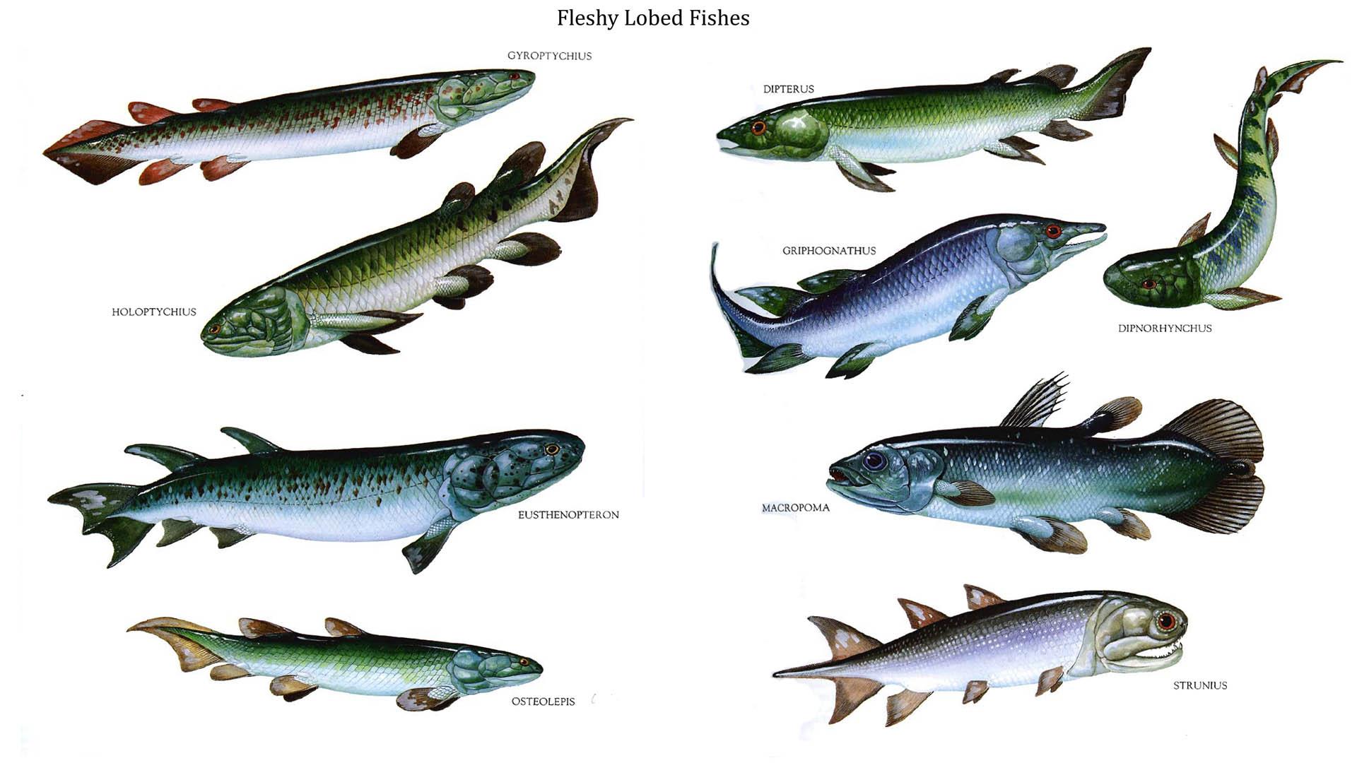 Fleshy Lobed Fishes