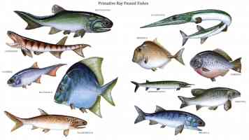 primative ray finned fishes