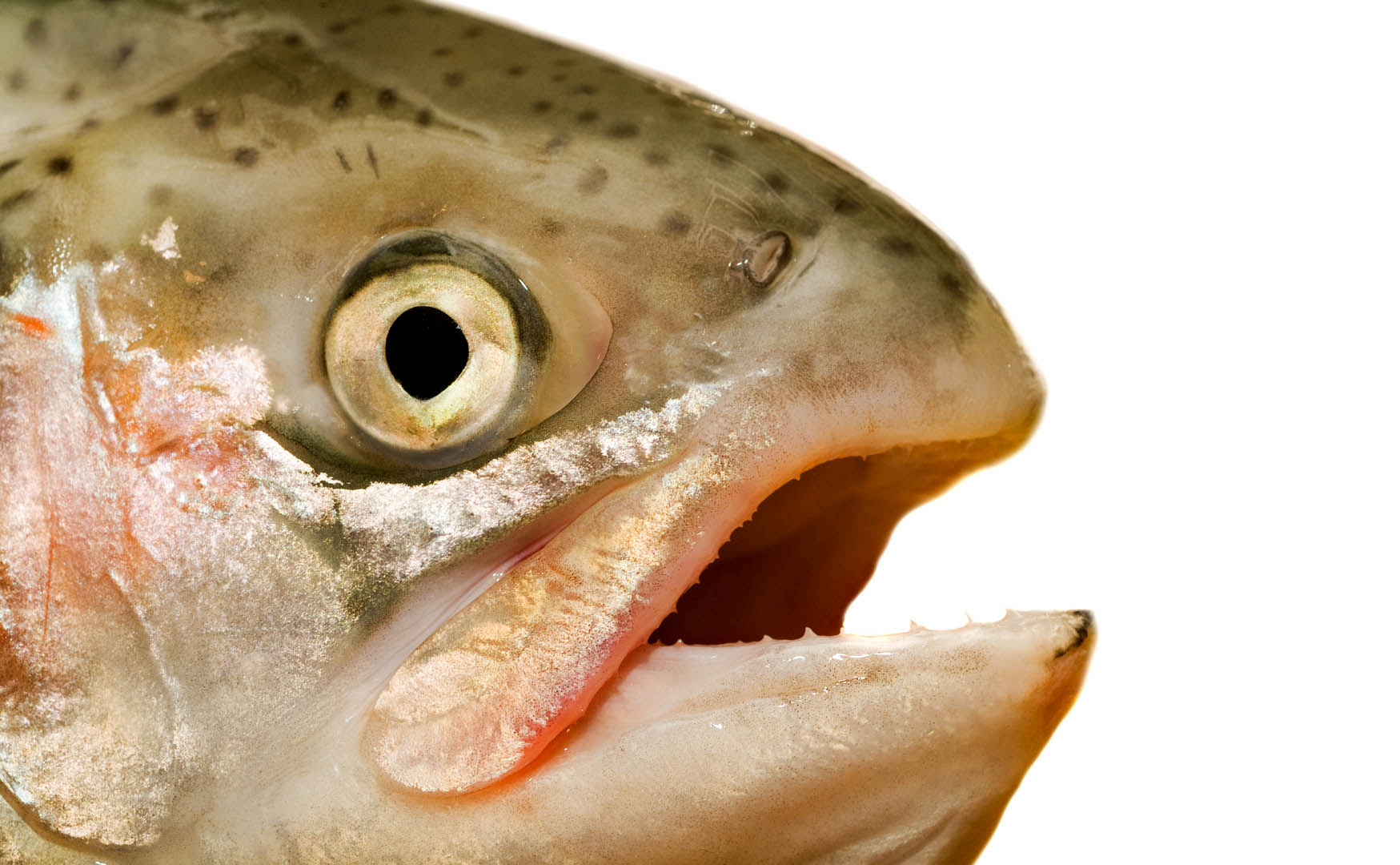 Salmon head fish wallpaper for Salmon fish pictures