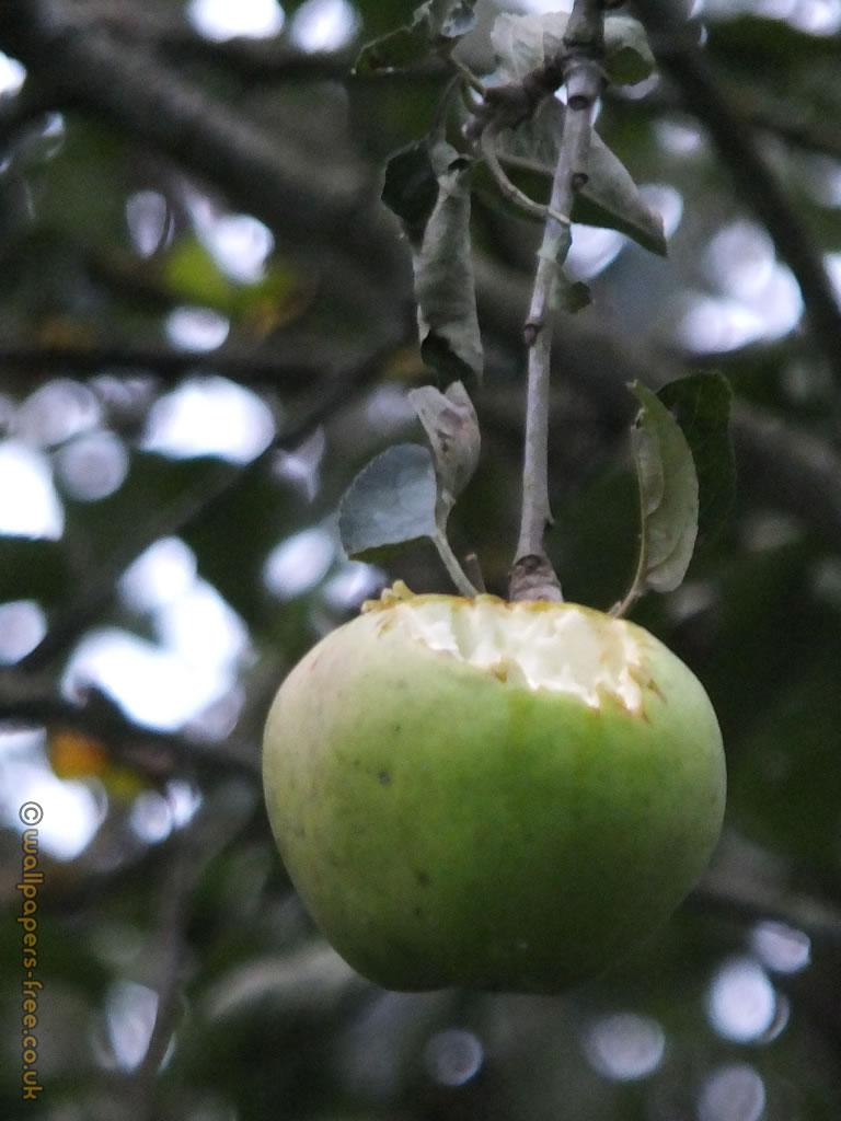 Bird Pecked Apple Still On The Tree