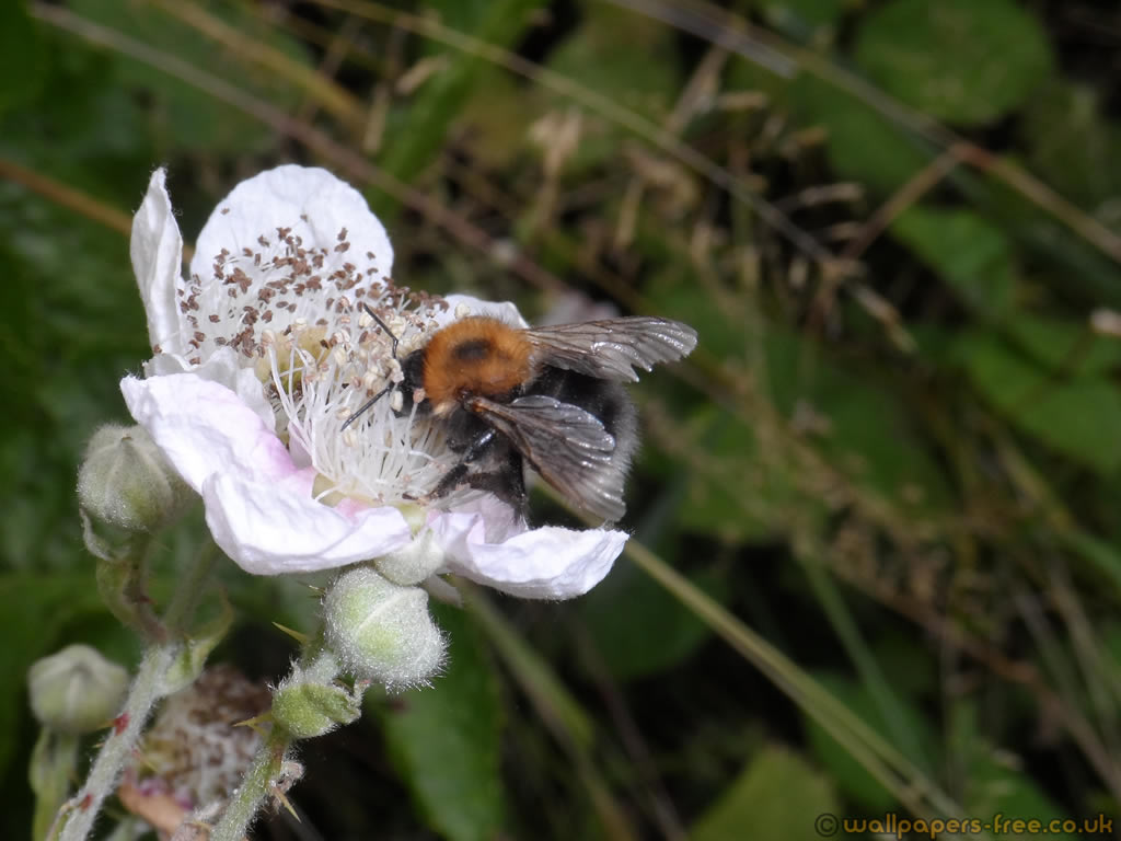 Hypnorum Worker Bumble Bee Collecting Pollen