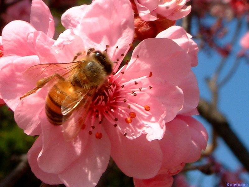 Pink Flower Bee