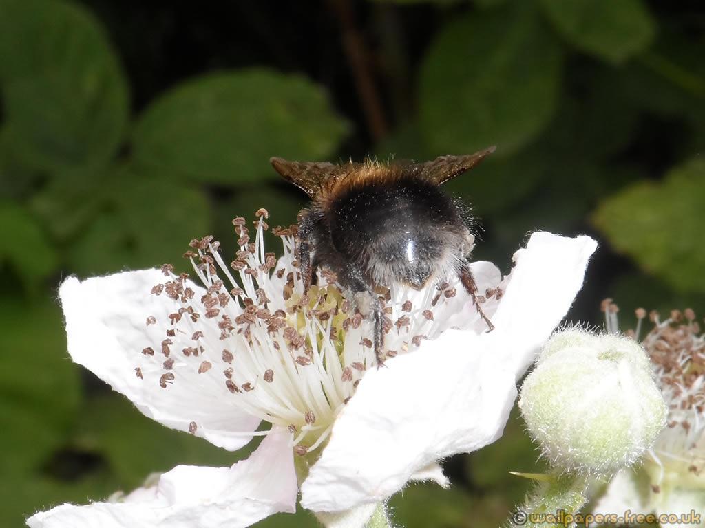 Rear Abdomen Of Worker Bumble Bee