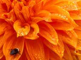 Bumblebee and Dewdrops Dahlia