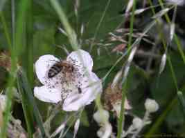 leafcutter bee through the undergrowth