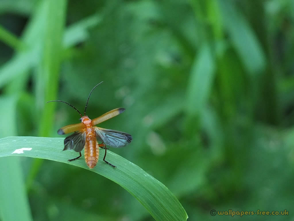Red Soldier Beetle Taking Off