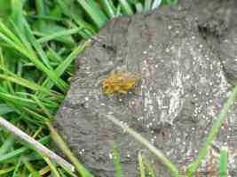 uk yellow dung fly