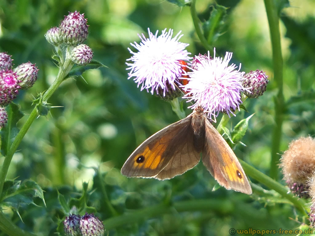 Female Meadow Brown Butterfly