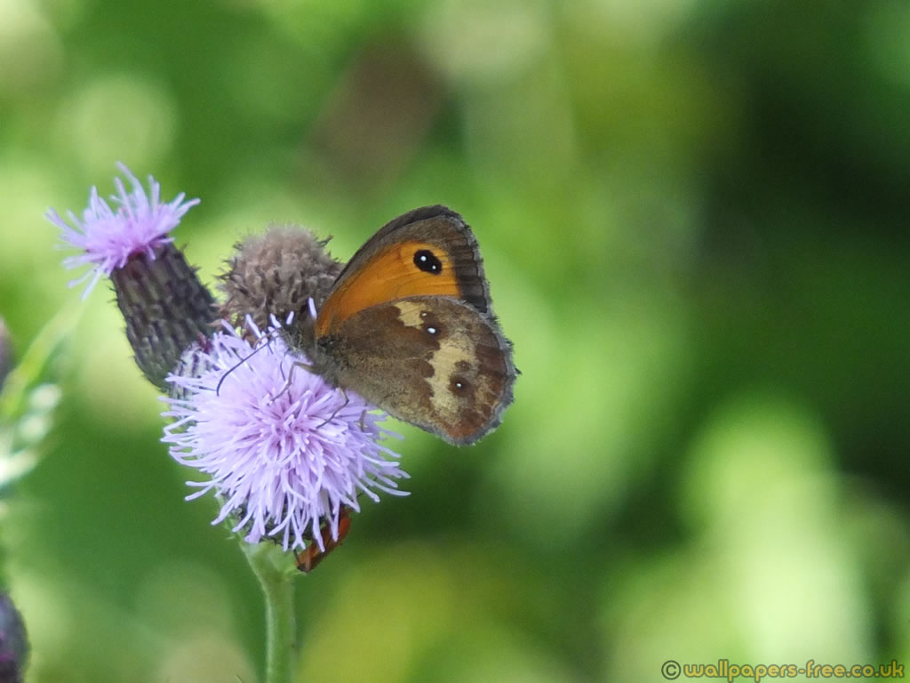 Female Meadow Brown With Multiple Eyespots