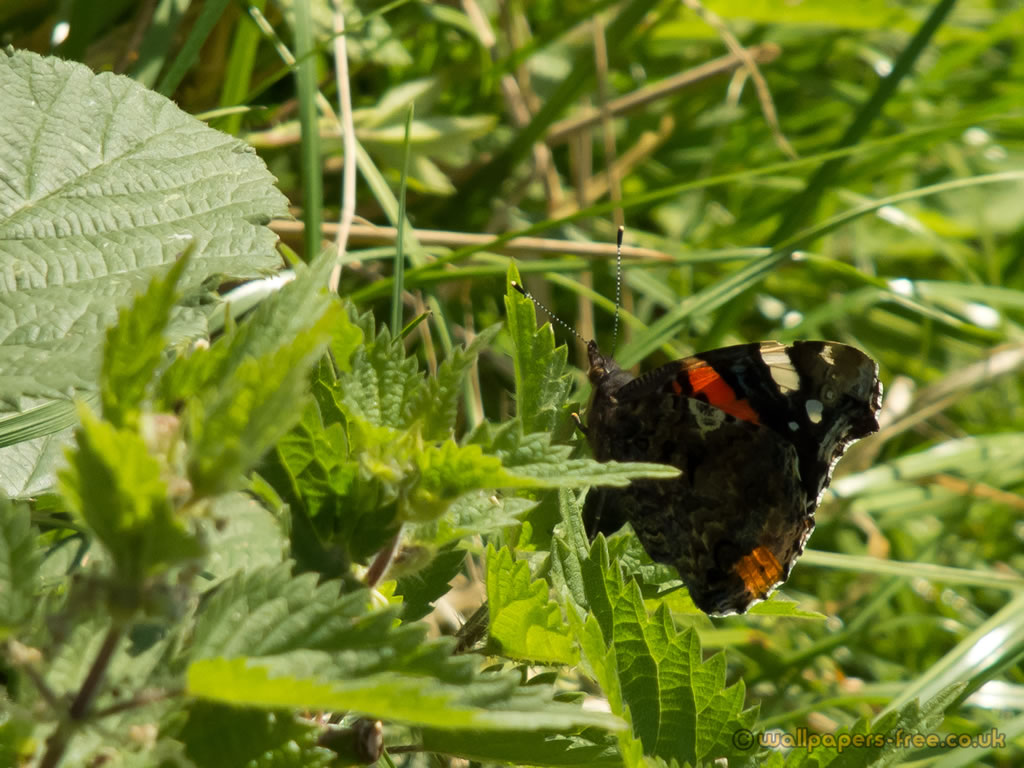 Female Red Admiral Butterfly Showing Underside