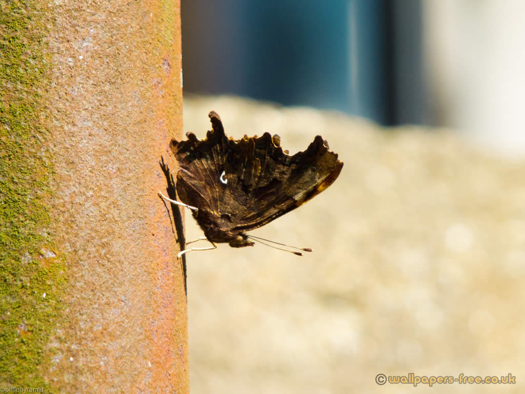Male Comma Butterfly Underside