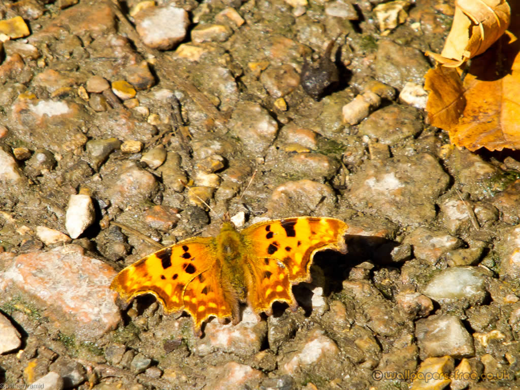 Male Comma Butterfly Wings Grouped