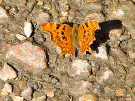 male comma butterfly wings open