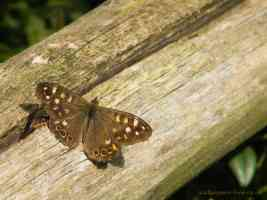 speckled wood butterfly on fence