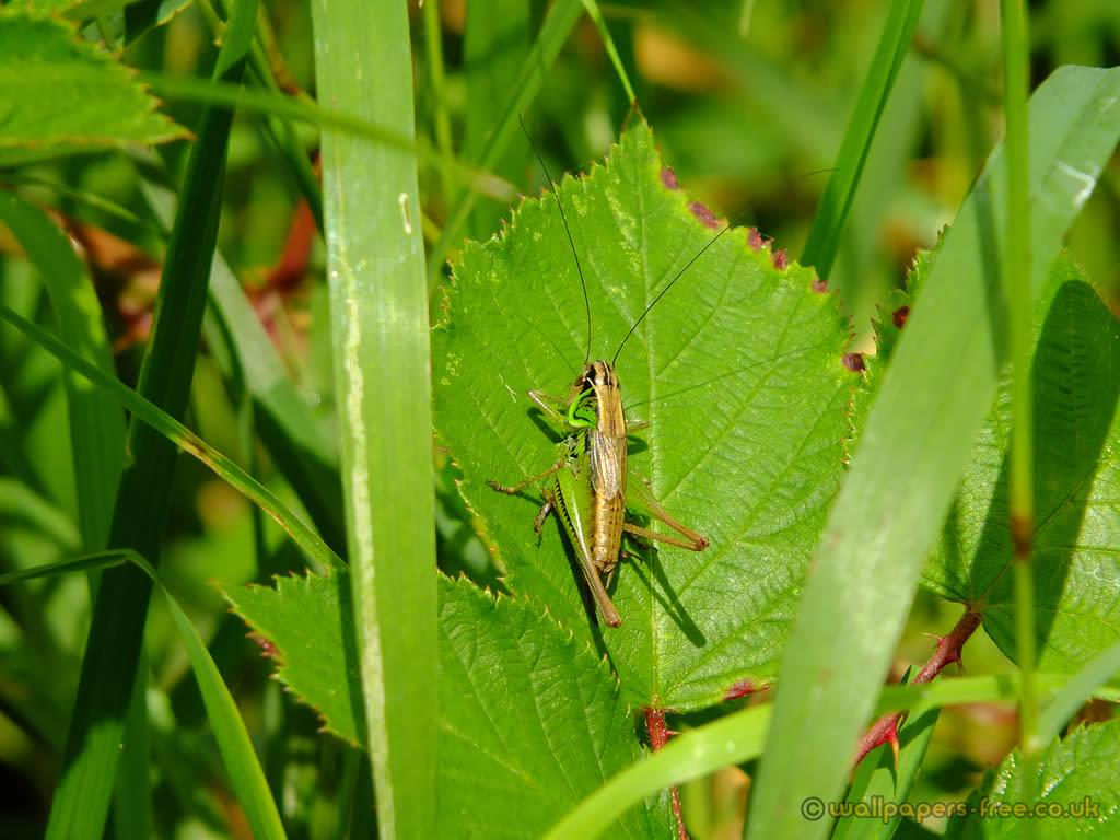 Cricket On Leaf
