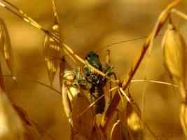 cricket in golden corn field